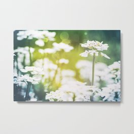 Candytuft Iberis Sempervirens beautiful flowers blossoming in spring season Metal Print