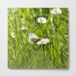 WHITE BUTTERFLY on COMMON DAISY Metal Print