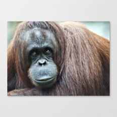 Orangutan Staring Canvas Print