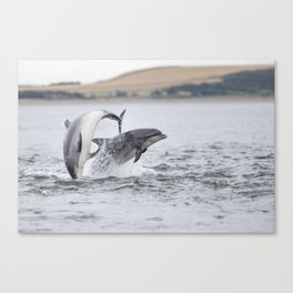 Playful couple of bottlenose dolphin tursiops truncatus Canvas Print