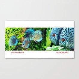 Turquoise Blue Discus Fish Canvas Print