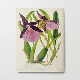 Miltonia Spectabilis Vintage Botanical Floral Flower Plant Scientific Illustration Metal Print