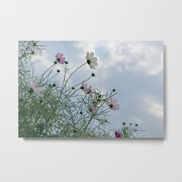 Cosmos Field in Sunshine Photography Metal Print