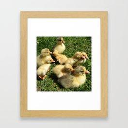little goslings wildlife and ducklings in the meadow Framed Art Print
