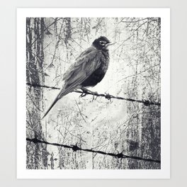 American Robin Bird on Barbed Wire Fence Grunge Art Print