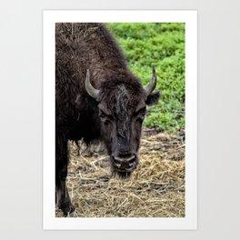 The Bison Stare Art Print