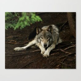 Intense Timber Wolf Canvas Print