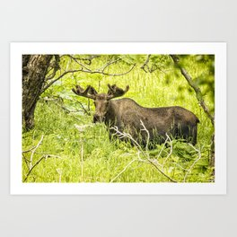 Bull Moose in Kincaid Park, No. 2 Art Print