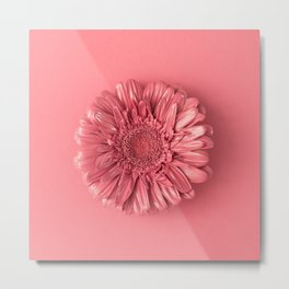 Pink daisy flower on pink background Metal Print