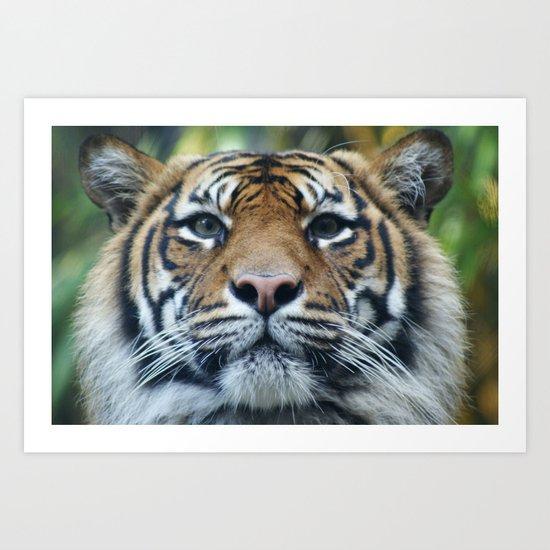 Tigers Glorious Stare Art Print