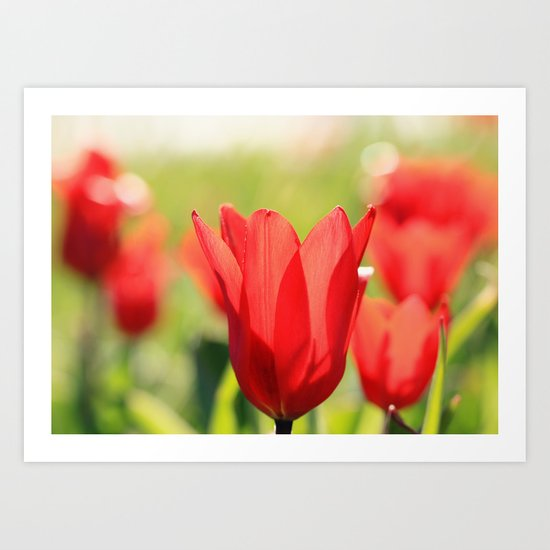 Red tulips in backlight Art Print