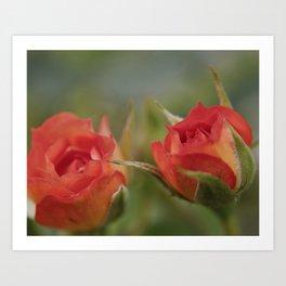 Double Orange Miniature Rose Art Print