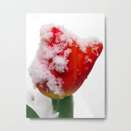 Snow Tipped Tulip Metal Print