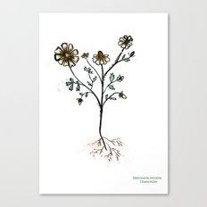 Matricaria recutita Canvas Print