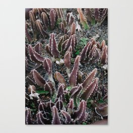 Cactus 5 Canvas Print