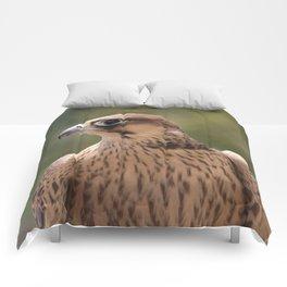 Falco peregrinus pelegrinoides  Comforters