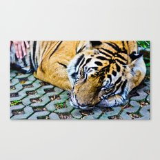 Tired Tiger Canvas Print