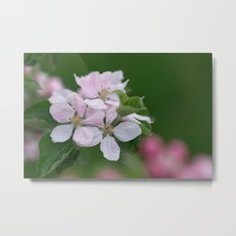 Classic Image Of Apple Tree Blossoms In The Garden In Spring Metal Print