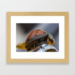 super magnification of a tropical ladybird Framed Art Print