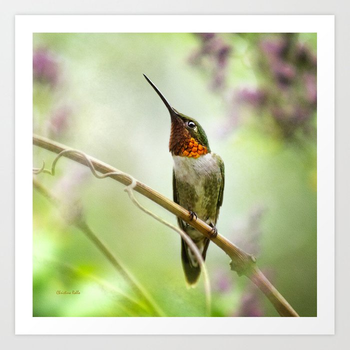Hummingbird Passion Art Print