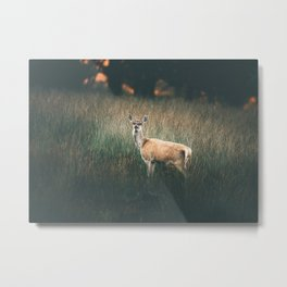 Red deer hind in tall grass at sunrise. Metal Print