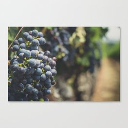 Purple Blue Grapes in the Vineyard Canvas Print