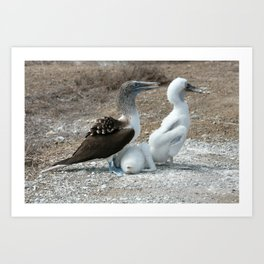 Blue Footed Boobie and Two Chicks Art Print