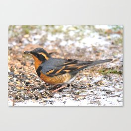 Male Varied Thrush Amid the Snow and Seed Canvas Print
