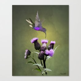 Violet Sabrewing Hummingbird and Thistle Canvas Print