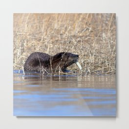 Watercolor Otter 15, Janes Island, Maryland Metal Print