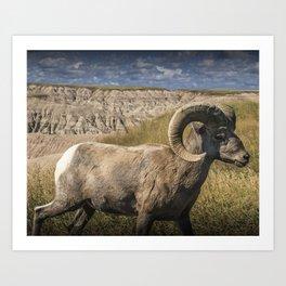 Bighorn Ram Sheep photographed in the Badlands National Park Art Print