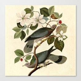 Band-tailed Pigeon (Patagioenas fasciata) Canvas Print