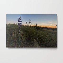 Purple Lupines at Sunset Metal Print