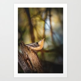 Northern Nuthatch Art Print