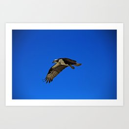 Osprey in Flight II Art Print