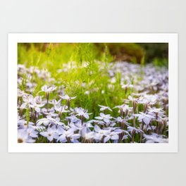 Sun-kissed Meadows with White Star Flowers Art Print