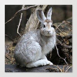 Snowshoe Hare Rabbit Canvas Print