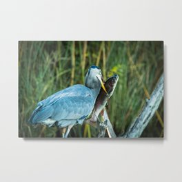 A great blue heron spears a large trout Metal Print