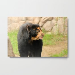 Large Spectacled Bear Metal Print