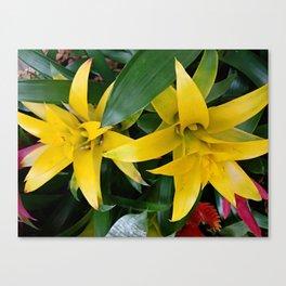 Yellow guzmania tropical flower Canvas Print