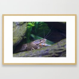 The crayfish Framed Art Print