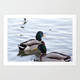 A Mallard Couple Art Print