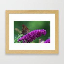 Comma butterfly on Butterfly Bush Framed Art Print