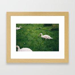 3 Swans Framed Art Print