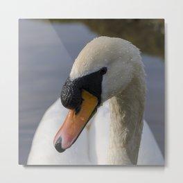 Mute swan cob Metal Print