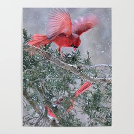 Cardinals Jostling on a Branch in a Snow Storm Poster