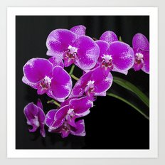 Graceful spray of deep pink orchids Art Print