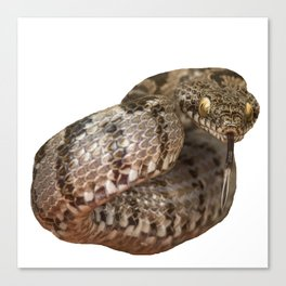 Ottoman Viper Snake Tasting The Air Canvas Print