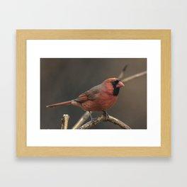 Red cardinal 7686 Framed Art Print