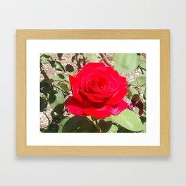 Rose #1 Framed Art Print